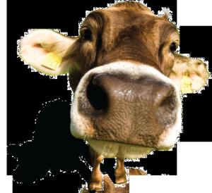 dotace na krávy